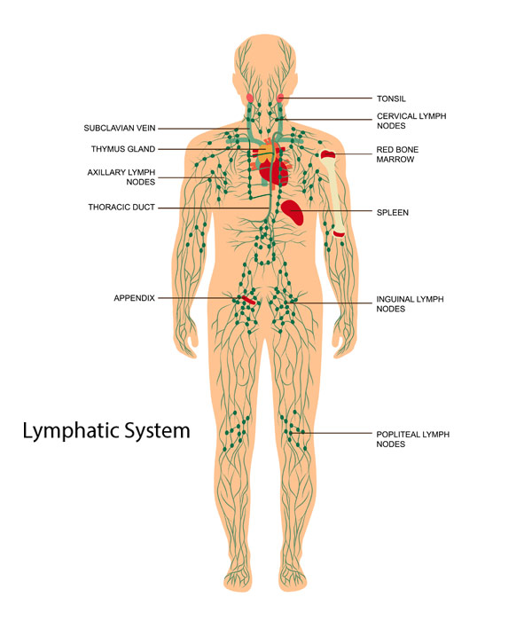 Reflexology illustration showing the Lymphatic System in the human body